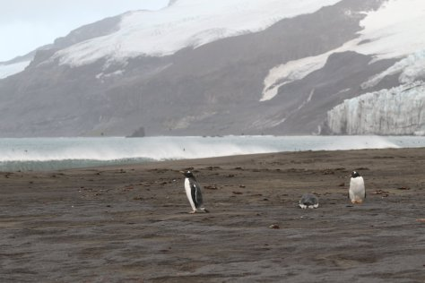 Gentoo penguins, surf, and glaciers at Corinthian Bay, Heard Island.  Image credit: Bill Mitchell (CC-BY).