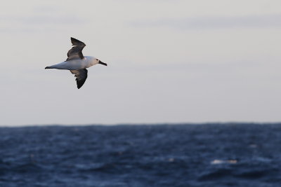 Yellow-nosed albatross flying alongside the Braveheart.  Image credit: Bill Mitchell (CC-BY).