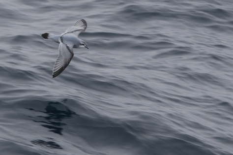A fulmar prion glides swiftly over the swell of the Southern Ocean.  Image credit: Bill Mitchell (CC-BY)