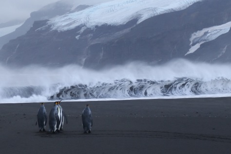 King penguins standing on the beach watching the surf, Corinthian Bay, Heard Island.  Image credit: Bill Mitchell (CC-BY).